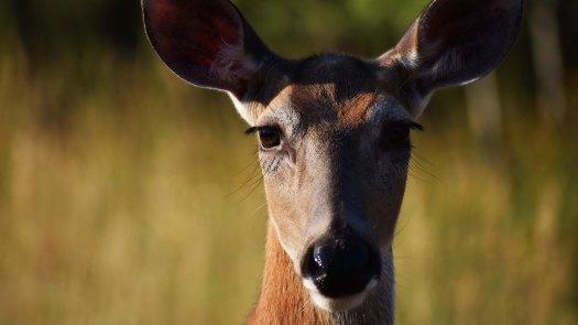 deer_face